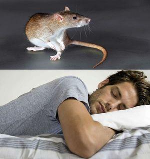 ловить крысу во сне