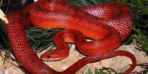 Красная змея во сне