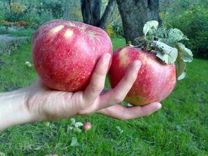 большие яблоки во сне
