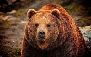 бурый медведь приснился
