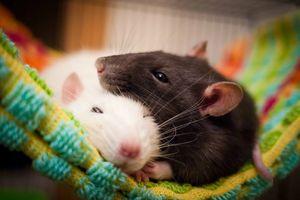 черная и белая крыса во сне