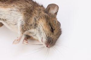 мертвая крыса во сне