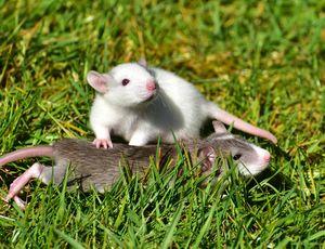 крыса во сне на природе