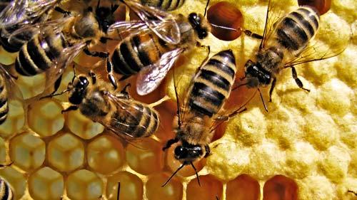 Приснились пчелы — толкование сна