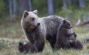 снится медведица с медвежатами