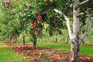 снится яблочный сад
